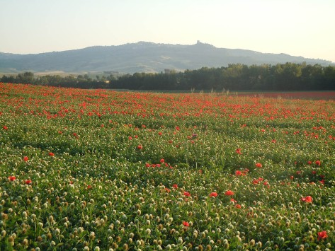 Field of Tuscan poppies.