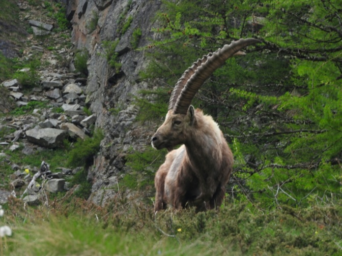 Steinbock stalking in the Gran Paradiso…